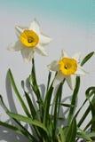 Due Daffodils immagine stock