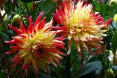 Due dalie dei fiori Fotografia Stock