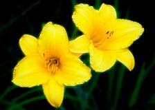Due Daylilies Immagini Stock