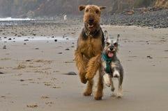 Due dei cani fatti funzionare sulla spiaggia Fotografie Stock