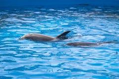 Due delfini alla superficie Fotografia Stock
