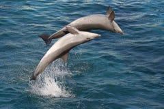 Due delfini del radiatore anteriore della bottiglia Immagini Stock Libere da Diritti