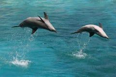 Due delfini del radiatore anteriore della bottiglia Fotografia Stock Libera da Diritti