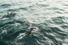 Due delfini selvaggi del filatore che nuotano nell'Oceano Indiano Fondo della natura della fauna selvatica Spazio per testo Turis Immagine Stock
