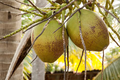 Due delle noci di cocco verdi con i mazzi Fotografia Stock Libera da Diritti