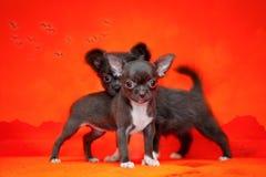 Due di cuccioli colorati di cioccolato dal mare Bello tramonto fotografia stock