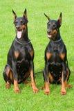 Due dobermans di seduta Fotografia Stock