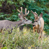 Due dollari dei cervi di mulo con i antlers del velluto interagiscono Fotografia Stock