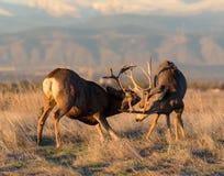 Due dollari dei cervi muli nel combattimento Fotografie Stock