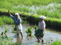 Due donne indiane nei campi di risaia dopo i tsunami Immagine Stock