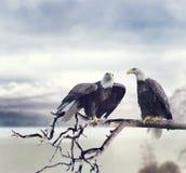 Due Eagles calvo Immagini Stock Libere da Diritti