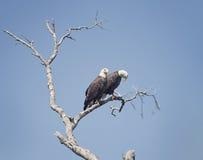 Due Eagles calvo americano Immagini Stock