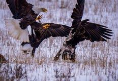Due Eagles calvo e un'aquila reale fotografie stock libere da diritti