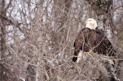 Due Eagles calvo nessun albero delle foglie fotografia stock