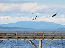 Due Eagles calvo sorvolano un pilastro di pesca alla ricerca del pesce Fotografia Stock Libera da Diritti
