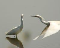 Due egrets nevosi fotografie stock libere da diritti