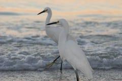 Due egrette di Snowy sulla spiaggia immagine stock libera da diritti