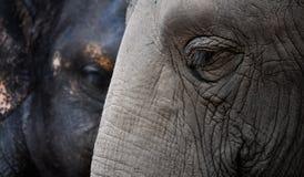 Due elefanti Fotografia Stock