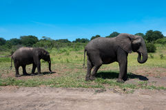 Due elefanti Fotografie Stock Libere da Diritti