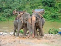 Due elefanti attaccano la parte anteriore di un fiume della giungla, Thailande Fotografia Stock Libera da Diritti