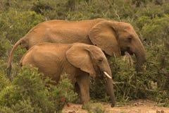 Due elefanti che camminano attraverso il cespuglio Immagini Stock