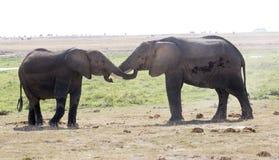 Due elefanti che giocano nel selvaggio Immagini Stock Libere da Diritti