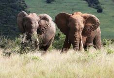 Due elefanti di toro africani selvaggi che pascono Fotografia Stock