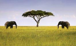 Due elefanti hanno isolato l'Africano Savannah Serengeti Tanzania dell'albero dell'acacia fotografie stock libere da diritti
