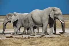 Due elefanti namibia Fotografie Stock Libere da Diritti