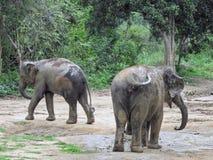 Due elefanti selvaggi in Sri Lanka Fotografia Stock Libera da Diritti
