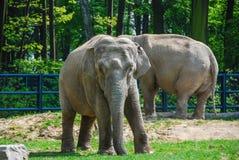 Due elefanti sull'iarda Immagini Stock Libere da Diritti