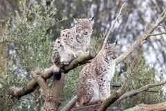 Due europeo Lynx Fotografia Stock Libera da Diritti