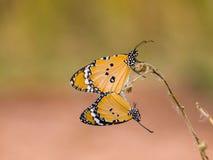 Due farfalla, stagione per crescere della farfalla Immagine Stock Libera da Diritti
