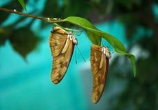 Due farfalle Immagine Stock Libera da Diritti