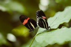 Due farfalle Fotografie Stock