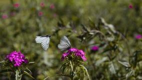 Due farfalle bianche e fiori porpora immagini stock