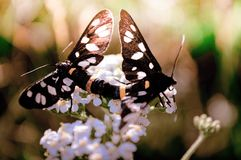 Due farfalle che si siedono su un fiore bianco nel corso dell'accoppiamento fotografia stock libera da diritti