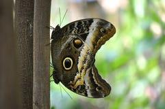 Due farfalle del gufo Fotografia Stock Libera da Diritti