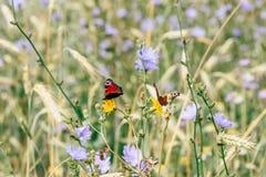 Due farfalle di pavone europee sui fiori gialli immagine stock libera da diritti