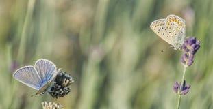 Due farfalle differenti che si siedono sui rami di lavanda immagine stock