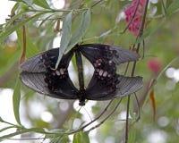 Due farfalle nella simmetria Fotografie Stock Libere da Diritti