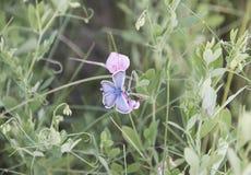 Due farfalle, sedentesi su un fiore immagini stock