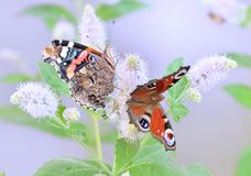 Due farfalle si siedono sulle foglie del fiore del campo, macro Fotografie Stock Libere da Diritti