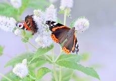 Due farfalle si siedono sulle foglie del fiore del campo, macro Immagine Stock