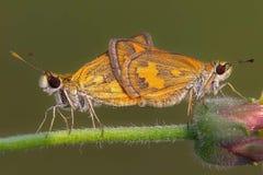 Due farfalle su un fiore fotografia stock libera da diritti