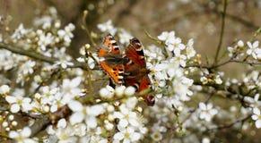 Due farfalle sui fiori della ciliegia di uccello Immagini Stock Libere da Diritti
