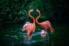 Due fenicotteri caraibici nella lotta immagini stock