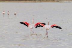 Due fenicotteri che decollano al Sale-lago di Larnaca nel Cipro fotografie stock libere da diritti