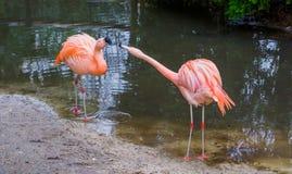 Due fenicotteri cileni che esprimono comportamento dominante ed aggressivo, comportamenti animali, uccelli tropicali dall'america fotografia stock libera da diritti