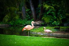 Due fenicotteri nello zoo in Tenerife, Spagna Fotografie Stock